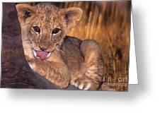 Shy African Lion Cub Wildlife Rescue Greeting Card