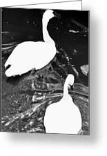 Shy Swans Greeting Card