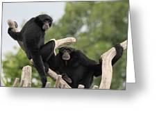 Siamang Monkeys Greeting Card
