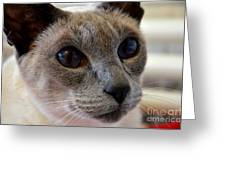 Siamese Cat Peers Into Unknown Greeting Card