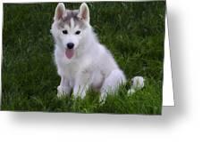Siberian Huskie Pup Greeting Card