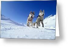 Siberian Husky Dogs Greeting Card