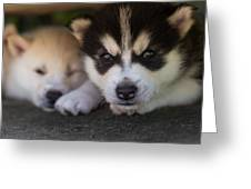 Siberian Husky Pups Greeting Card by Benita Walker