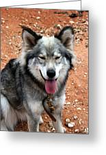 Siberian Husky With Blue And Brown Eyes Greeting Card