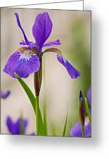 Siberian Iris Blossom Greeting Card