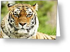 Siberian Tiger Beautiful Closeup Greeting Card by Boon Mee