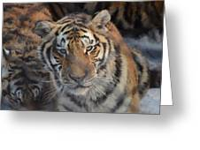 Siberian Tiger Greeting Card by Brett Geyer