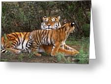 Siberian Tiger Cub Guarding Mom Wildlife Rescue Greeting Card