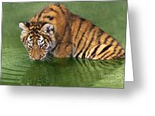 Siberian Tiger Cub In Pond Endangered Species Wildlife Rescue Greeting Card