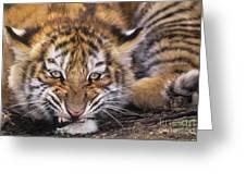 Siberian Tiger Cub Panthera Tigris Altaicia Wildlife Rescue Greeting Card