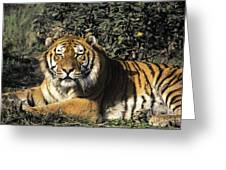 Siberian Tiger Endangered Species Wildlife Rescue Greeting Card