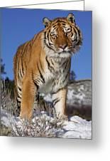 Siberian Tiger No. 1 Greeting Card
