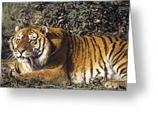 Siberian Tiger Stalking Endangered Species Wildlife Rescue Greeting Card