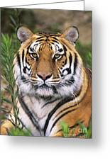 Siberian Tiger Staring Endangered Species Wildlife Rescue Greeting Card