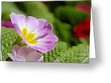 Side View Of A Spring Pansy Greeting Card