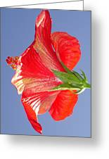 Side View Of Scarlet Red Hibiscus In Bright Light Greeting Card