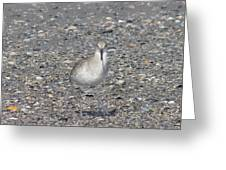 Sidestepping Sandpiper Greeting Card