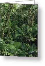 Sierra Palm Trees El Yunque Puerto Rico Greeting Card