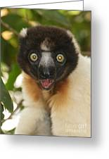 sifaka from Madagascar 8 Greeting Card