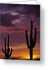 Silhouetted Saguaro Cactus Sunset  Greeting Card