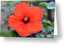 Silky Red Hibiscus Flower Greeting Card
