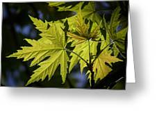 Silver Maple Greeting Card