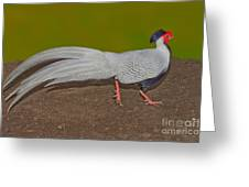 Silver Pheasant In Strutting Pose Greeting Card