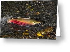 Silver Salmon Spawning Greeting Card