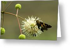 Silver-spotted Skipper On Buttonbush Flower Greeting Card