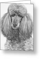 Silver Standard Poodle Drawing Greeting Card