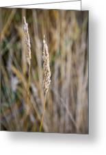 Single Blade Of Tall Field Grass Greeting Card