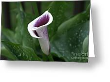 Single Calla Greeting Card