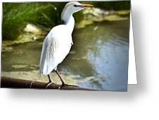 Single Cattle Egret Greeting Card