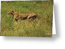 Single Cheetah Running Through The Grass Greeting Card