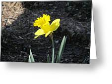Single Daffodil Greeting Card
