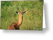 Single Grant's Gazelle Greeting Card