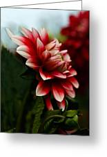 Single Red Dahlia Greeting Card