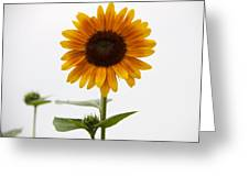 Single Sunflower Greeting Card