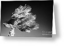 single top of Palm Tree blowing in a very strong wind against a blue sky Tenerife Canary Islands Spain Greeting Card