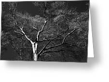 Single Tree With New Spring Leaves In Black And White Greeting Card