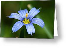 Sisyrinchium Angustifolium Greeting Card