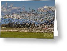 Skagit Snow Geese Liftoff Greeting Card