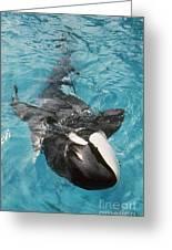 Skana Orca Vancouver Aquarium Pat Hathaway Photo1974 Greeting Card