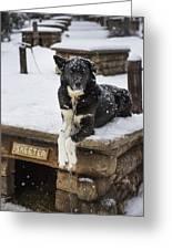 Skeeter The Sled Dog  Greeting Card