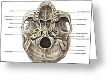 Skull Inferior View Greeting Card