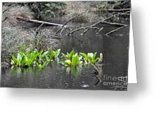 Skunk Cabbage Blooming In Washington State Forest  4 Greeting Card