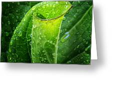 Skunk Cabbage Square Greeting Card