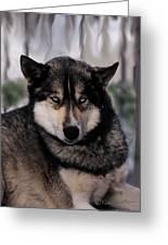 Sled Dog Resting Greeting Card