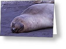 Sleeping Elephant Seal - Isla Guadalupe Mexico Greeting Card