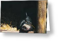 Sleeping Potbelly Pig Greeting Card